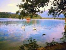 En sikt på svanarna på den blödde sjön Arkivbild