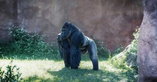 En silverbackgorilla royaltyfri fotografi