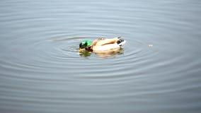 En and simmar i dammet och äter arkivfilmer