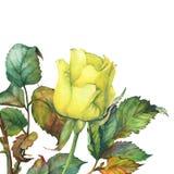 En singel av den härliga guld- gulingrosen med gröna sidor Royaltyfri Fotografi