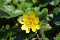 Lesser Celadine Royaltyfria Bilder