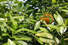 En sista dold apelsin arkivfoto