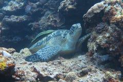 En sköldpadda Fotografering för Bildbyråer