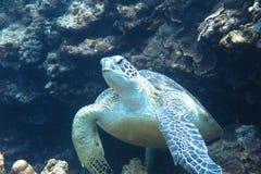 En sköldpadda Arkivbilder