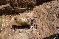 En sköldpadda bland stenar Royaltyfri Fotografi