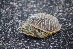 En sköldpadda för liten ask vilar på en stenlagd yttersida Fotografering för Bildbyråer