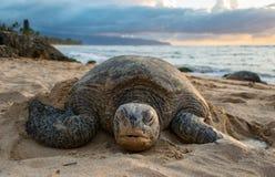 En sköldpadda på sköldpaddastranden - Oahu Arkivbild