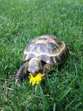 En sköldpadda som äter blomman royaltyfri bild