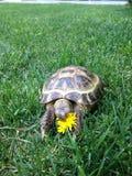 En sköldpadda som äter blomman Arkivbild