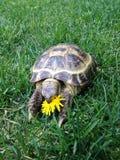 En sköldpadda som äter blomman Arkivbilder