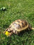 En sköldpadda som äter blomman royaltyfria bilder