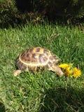 En sköldpadda som äter blomman Arkivfoto
