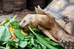 En sköldpadda som äter grönsaken Arkivbilder