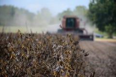 En skörd av torkade mognade sojabönor omkring som ska klipps royaltyfri fotografi