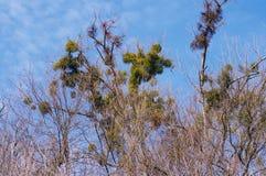 En skadlig växt en parasit på popplar mot himlen fotografering för bildbyråer