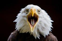 En skallig örn för amerikan Royaltyfria Bilder