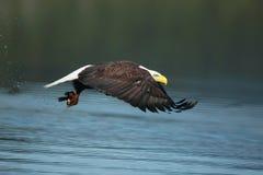 En skallig örn med en fisk royaltyfri fotografi