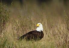 En skalliga Eagle i en naturlig inställning arkivbild