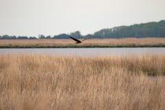 En skalliga Eagle i flykten över träskgräs med fjärden i bakgrunden arkivfoto