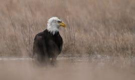 En skalliga Eagle i Maine Arkivbilder