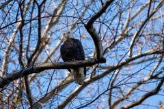 En skalliga Eagle som sätta sig i ett träd som ser direkt in i kameran royaltyfria foton