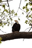 En skalliga Eagle som s?tta sig i ett tr?d med en fisk Hållande ögonen på folk under vägg på våren royaltyfri fotografi