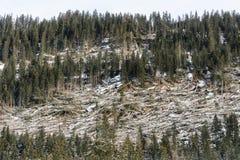 En skog av granar slogg arkivfoton