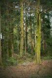 En skog med sörjer träd i tidig vår arkivbilder