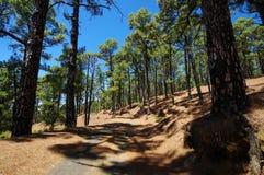 En skog nära El Julan i El Hierro, Spanien Arkivbild