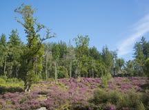 En skogsmarkmatta av ljung Arkivbilder