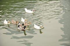 En skola av änder som simmar i sjön Arkivfoton