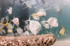 En skola av den Lookdown fisken under en pir Royaltyfri Fotografi