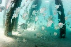 En skola av den Lookdown fisken under en pir Arkivbild
