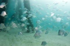 En skola av den Lookdown fisken under en pir Royaltyfri Bild