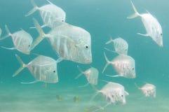 En skola av den Lookdown fisken under en pir Arkivfoto