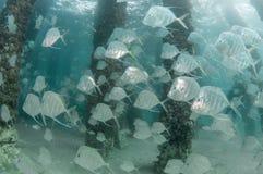 En skola av den Lookdown fisken under en pir Arkivfoton
