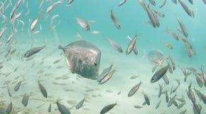En skola av den Lookdown fisken under en pir Fotografering för Bildbyråer
