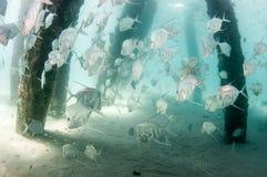 En skola av den Lookdown fisken under en pir Royaltyfri Foto