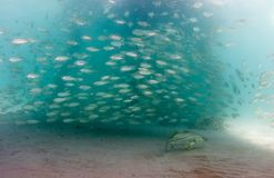 En skola av den Lookdown fisken under en pir Arkivbilder