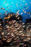 En skola av ljust färgar fisksimning förbi en rev Arkivfoton