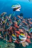 En skola av longfinbannerfish som tillsammans med simmar röda snappers längs en korallrev royaltyfria foton