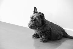 En skotsk Terrier valp som ner sitter Arkivfoto