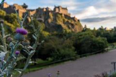 En skotsk tistel som ses i prinsgataträdgårdar med Edinburg royaltyfri foto