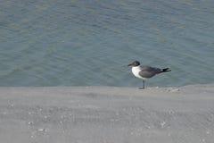 En skratta fiskmåsLarus Atricilla på stranden Fotografering för Bildbyråer