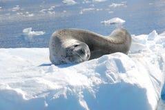 En skyddsremsa som vilar på ett isberg Royaltyfria Bilder