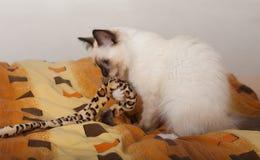 En skyddsremsapunktBirman katt, 4 månad gammal kattunge, man Arkivfoto