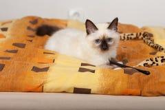 En skyddsremsapunktBirman katt, 4 månad gammal kattunge, man Royaltyfri Fotografi