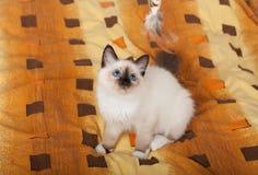 En skyddsremsapunktBirman katt, 4 månad gammal kattunge, man Royaltyfri Bild