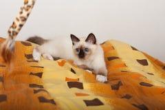 En skyddsremsapunktBirman katt, 4 månad gammal kattunge, man Arkivbilder