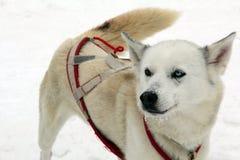 En slädehund väntar på deras bruk i snön att dra en släde och blickar på kameran fotografering för bildbyråer